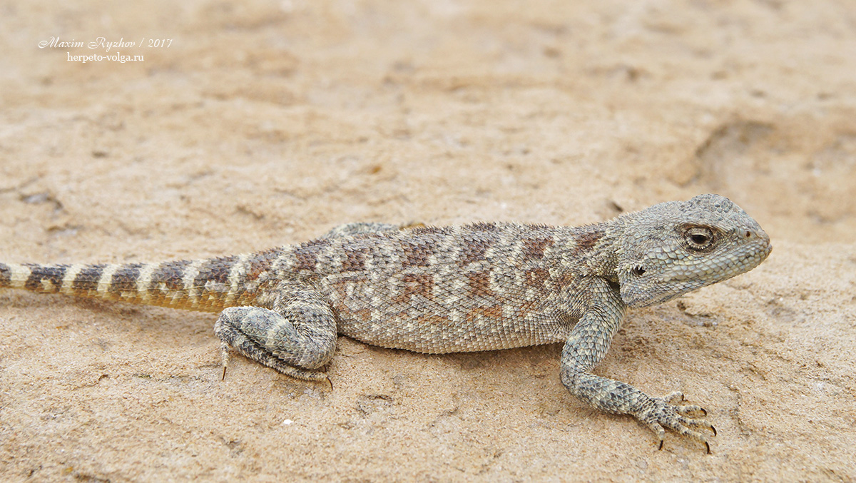 Степная агама (Trapelus sanguinolentus)