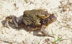 Серая жаба (Bufо bufo)