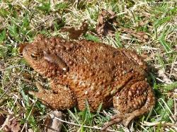 Обыкновенная жаба Bufo bufo