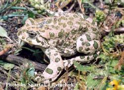 Зеленая жаба Bufo viridis