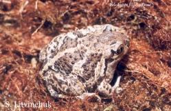 Обыкновенная чесночница Pelobates fuscus