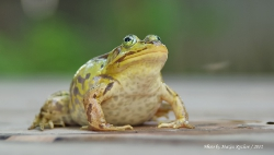 Земноводные (Amphibia)