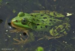 Прудовая лягушка Pelophylax lessonae