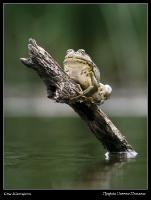 Озерная лягушка Pelophylax ridibundus