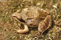 Остромордая лягушка Rana arvalis
