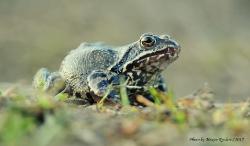 Травяная лягушка Rana temporaria