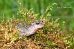 Сибирский углозуб Salamandrella keyserlingii