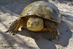 Болотная черепаха Emys orbicularis