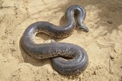 Песчанный удавчик (Eryx miliaris)