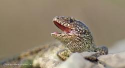 Ящерица прыткая Lacerta agilis