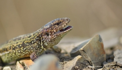 Прыткая ящерица Lacerta agilis