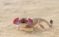 Ушастая круглоголовка Phrynocephalus mystaceus