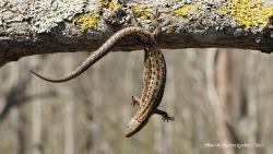 Ящерица живородящая Zootoca vivipara
